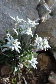 Edelweiss in the Swiss Alps … Alpine Flowers, Alpine Plants, Exotic Flowers, White Flowers, Beautiful Flowers, My Flower, Flower Power, Plantes Alpines, Planting Flowers