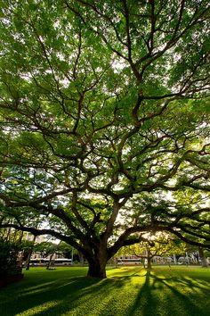 A spectacular Monkeypod tree filters the setting Honolulu sun. O'ahu, Hawai'i, USA.