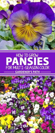 Mums, aster, and heather are flowering staples in your late fall or early spring garden, but winter pansies provide brilliant color straight on through the cooler seasons. They�re not even shy about popping up from under the snow and ice during warm spell
