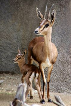 Baby Gazelle with mom by Penny Hyde, via Flickr