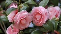 Camellia - 26 Fresh and Charming Flowers in Season in October - EverAfterGuide