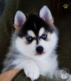 Teaching your puppy is all about building your relationship with your pet dog as well as implementing boundaries. Be firm yet consistent and you will see incredible results in your dog training work. Police Dog Training, Dog Clicker Training, Dog Training Books, Training Your Puppy, Pomsky Puppies For Sale, Baby Puppies, Cute Puppies, Positive Dog Training, Lancaster Puppies