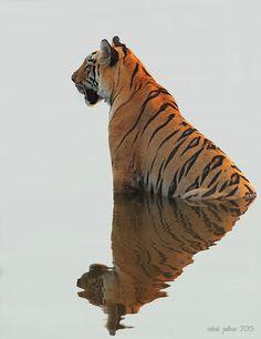 Tigress sitting in water one late evening in Tadoba, India. Vishal Jadhav 500px