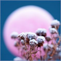 Flowers of the Snow Queen of Winter Wonderland, lightened by a pink Moon on a blue Fairy Sky