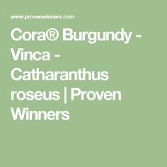 Cora® Burgundy - Vinca - Catharanthus roseus   Proven Winners