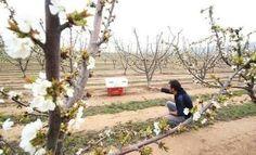 Villena prevé una producción de cerezas de un millón de kilos esta temporada