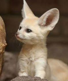 Cute Little Animals, Adorable Animals, Fennec Fox, Pet Fox, Foxes, Kitten, Pets, Baby Potatoes, Animales