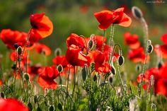 Czerwone, Maki Red Poppies, Maki, Flowers, Plants, Garden, Wallpapers, Garten, Wallpaper, Planters