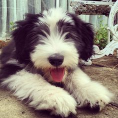 There's nothing cuter than a bearded collie puppy!