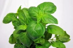 *****How to Grow & Care for Basil Plants gives tips for growing indoors and how to save a dying basil plant