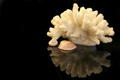 #lunac #porcelain #delamr #ocean #coral #light #shells #beach Shells, Porcelain, Coral, Beach, Del Mar, Seashells, Porcelain Ceramics, The Beach, Sea Shells
