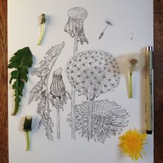 Nature Sketch, Nature Drawing, Plant Drawing, Painting & Drawing, Botanical Drawings, Botanical Art, Botanical Illustration, Illustration Art, Sketchbook Inspiration