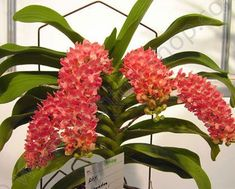 Orchid: Rhynchostylis gigantea - Species from Southeast Asia All Plants, Live Plants, House Plants, Indoor Garden, Outdoor Gardens, Orange Orchid, Epiphyte, Plant Order, Vanda Orchids