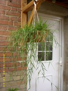 bambus bambus als k belpflanze pflege pflanzgef e. Black Bedroom Furniture Sets. Home Design Ideas