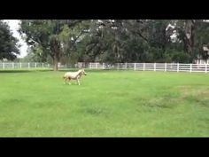 Precious Miniature Horse trotting across the pasture! (Fun fact: She is the only trotting horse we have on property! The rest are Tennessee Walking Horses!)