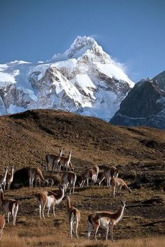 Guanacos in Patagonia, Chile; a herd of wild Guanacos feeding on grasses. Above them the tallest mountain in Torres del Paine National Park - Paine Grande. Parc National Torres Del Paine, Places To Travel, Places To See, Travel Destinations, Places Around The World, Around The Worlds, Beautiful World, Beautiful Places, Amazing Places