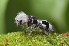 The Panda Ant is a kind of wingless wasp (mutillidae)