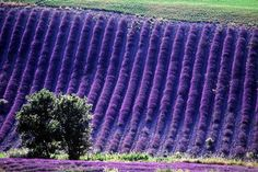 Someday I will see the beauty of the lavender fields in Provence! Lavender Cottage, Lavender Fields, Lavender Color, Lavender Flowers, Purple Flowers, Lavander, Growing Lavender, Purple Haze, Shades Of Purple