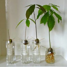 Grow your own Avacado plant