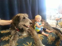 Rysheron Irish Wolfhounds And Riggsrun Border Terriers - Dogs ...
