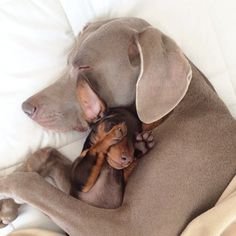 I want a Weimaraner and a Dachshund! Weimaraner Harlow cuddles with her new pal and best friend Indi, a cute little Mini Dachshund Weimaraner, Animals And Pets, Baby Animals, Funny Animals, Cute Animals, Small Animals, Cute Puppies, Cute Dogs, Dogs And Puppies