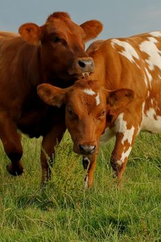 Fact: Cows have best friends and spend most of their time with them