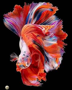 Instagram Beta Fish, Fish Art, Close Up Photos, Tropical Fish, Belle Photo, Wildlife Photography, Betta, True Colors, Photo And Video