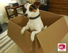 Jack Russell  Jack in the Box