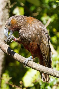 Kaka | ©Cornelia Schulz  The Kākā, Nestor meridionalis, is a forest parrot, related to the Kakapo (Strigops habroptilus), both are from the same superfamily Strigopoidea.  It has a fairly dull coloration and a long, curved beak, also has a distinctive pale crown and crimson underwings, rump and collar.  This species is endemic to New Zealand and it is classified as Endangered