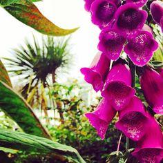 #Foxgloves in the #garden
