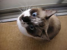 はじめてのカメラ目線! Looking At Camera for the first time!  #ねこ #cat