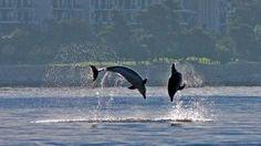 delfini u uvali Lone...