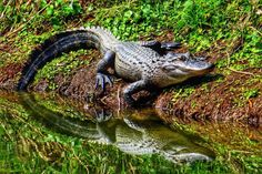 My gator pix used and being sold by the P&C! May 8, 2018