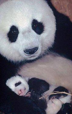 Pandabeer - Moeder en kind.