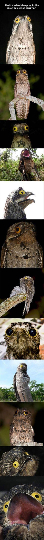 The Potoo bird always looks like it saw something horrifying.