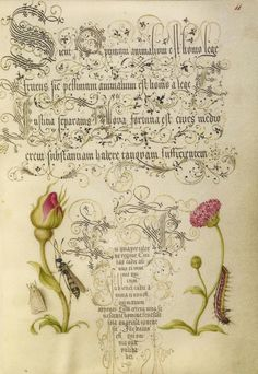 [folio 11r] Joris Hoefnagel (illuminator) [Flemish / Hungarian, 1542 - 1600], and Georg Bocskay (scribe) [Hungarian, died 1575], Wainscot, French Rose, Wasplike Insect, English Daisy, and Caterpillar, Flemish and Hungarian, 1561 - 1562; illumination added 1591 - 1596, Watercolors, gold and silver paint, and ink on parchment, Leaf: 16.6 x 12.4 cm (6 9/16 x 4 7/8 in.), 86.MV.527.11.