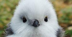 雪の妖精ことシマエナガ(島柄長)。体長約14cmの真っ白で、ふわふわな身体が人気です。英名はLog-tailed Tit、学名はAegithalos caudatus。昨年2016年11月には動物写真...