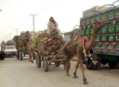 Labors carry woods to earn their livelihood for support their families on their camel-carts pass through a road in Larkana on Monday, April 23, 2012.