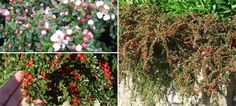 Cotoneaster horizontalis - added suggestion to be grown against the wall - adaptable for shady/dry conditions.