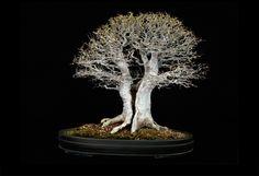 """樹齢65年 朴樹/鉢:常滑焼 via """"Fine Bonsai  Art and Nature"""" by Jonathan Singer"""