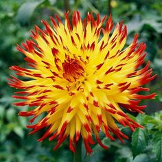 They can resemble peonies, water lilies, cactus flowers or orchids. With more than 50,000 variations in size, form and color and with blooms from June until frost, dahlias are a late-season gardener's best friend.