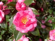 Shishi Gashira camellia, often called a dwarf sasanqua, is one of the most widely planted and popular camellias for Louisiana landscapes.