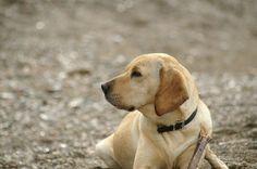 pic by boad[art #dog #hybriddog #americangointer  Mein Süßer-Türkischer-Strassen-Hund 'Nice' #dog #Goldenretrievermix #englishpointermix #americangointer #hybriddog