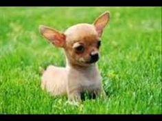 Resultado de imagen de perros pequeños