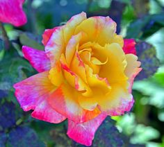 Pink and yellow rose.