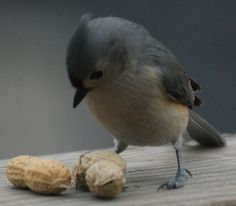 Shelled or whole peanuts are popular with jays, chickadees, titmice and nuthatches, and they can be offered in platform feeders, small dishes or specialized peanut feeders. Kinds Of Birds, All Birds, Runner Ducks, Northern Flicker, Bird Calls, Baby Ducks, Backyard Birds, Bird Watching, Bird Feathers