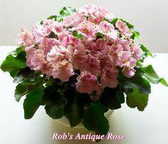 Rob's Antique Rose (Robinson)