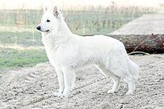 Read More About The Smart German Shepherd Grooming Gsd Puppies, Shepherd Puppies, German Shepherd Dogs, German Shepherds, Puppy, Cat And Dog Memes, White Swiss Shepherd, Big Animals, Dog Stories