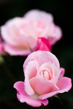 Rose from Carmine: American Beauty, Azalea, Ruby, Strawberry, Cameo, Rose, Shell