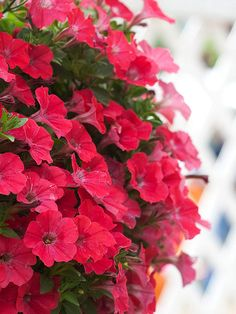 Supertunia Watermelon Charm Petunia from ProvenWinners named on BHG.com list of hot annuals for 2013!